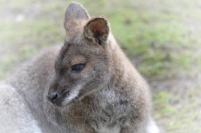 Wallaby Poster by Sharon Lisa Clarke