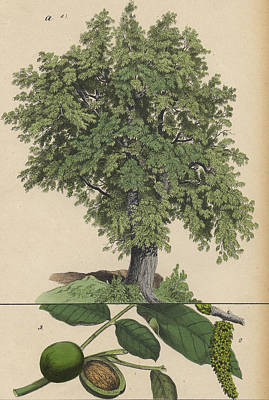 Walnut Tree And Fruit Poster