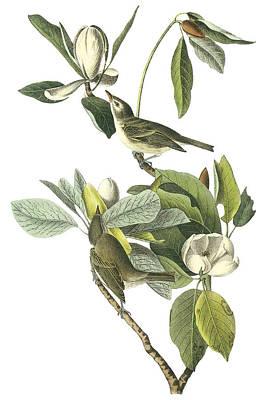 Warbling Vireo Poster by John James Audubon