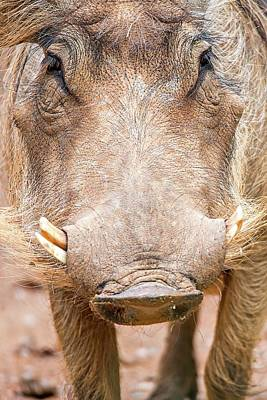 Wart Hog Portrait Looking Straight At Camera Poster