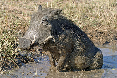 Poster featuring the photograph Warthog Taking Mud Bath by Riana Van Staden