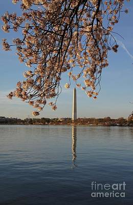 Washington Monument With Cherry Blossoms Poster by Megan Cohen