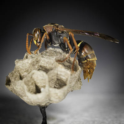 Wasp On A Nest Poster