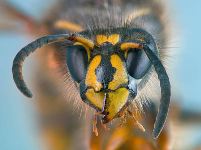 Poster featuring the photograph Wasp Portrait by Alexey Kljatov