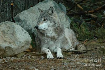 Watchful Wolf Poster by Sandra Updyke