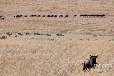 Watching The Herd Poster