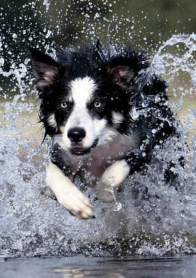 Water Collie Poster by Daniel Hagerman