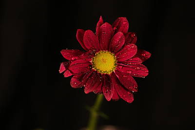 Poster featuring the photograph Water Drops On A Flower by Jeff Swan
