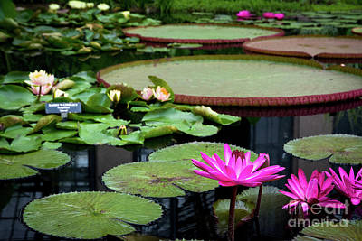Water Lilies And Lily Pads Poster