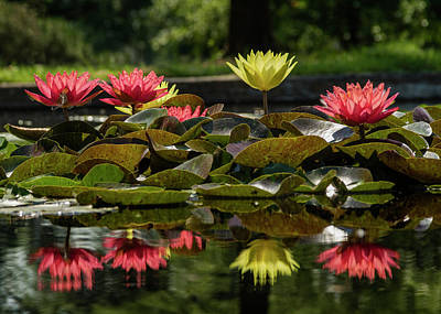 Water Lilies At The Jewel Box In Forest Park Poster by Garry McMichael