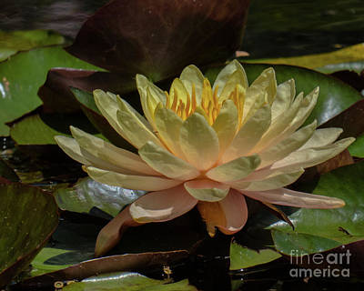 Water Lilly 1 Poster