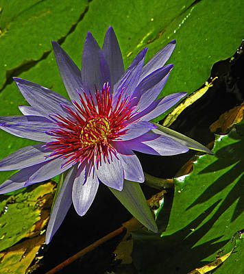 Water Lilly Poster by Elizabeth Hoskinson