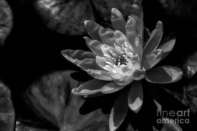 Water Lily 1 Poster by Venetta Archer