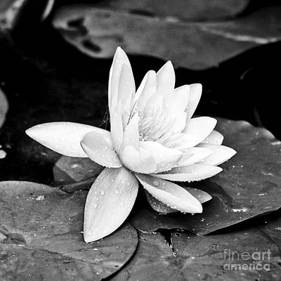 Water Lily Flower Poster