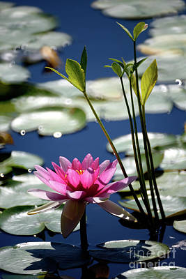 Water Lily Poster by Terry Elniski