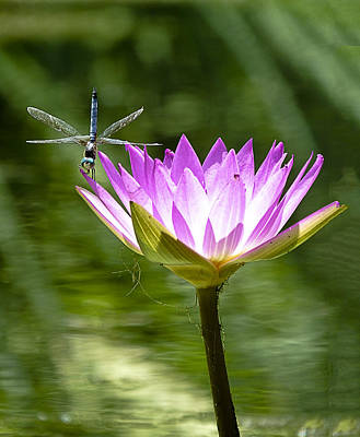 Poster featuring the photograph Water Lily With Dragon Fly by Bill Barber