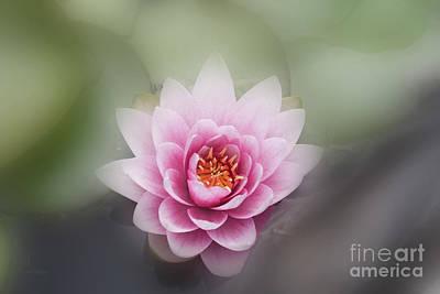 Water Lotus Flower Poster