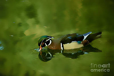 Male Wood Duck Water Reflections Poster