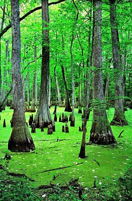 Water Tupelo And Bald Cypress Trees On The Natchez Trace Parkway. Jackson, Mississippi, Usa Poster