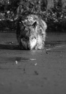 Poster featuring the photograph Water Wolf I by Shari Jardina