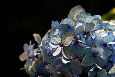Watercolor Blue Hydrangea Blossoms 1203 W_2 Poster