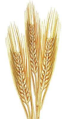 Watercolor Wheat Illustration Poster