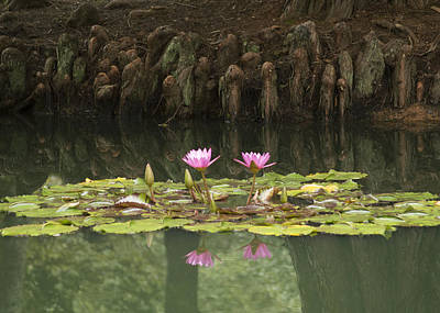 Waterlilies And Cyprus Knees Poster by Linda Geiger