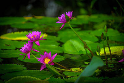 Waterlily Blossoms Poster by Garry Gay
