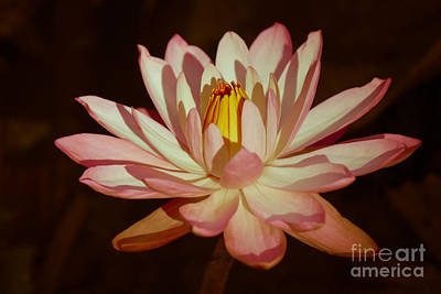 Waterlily Warmth Poster by Liesl Walsh