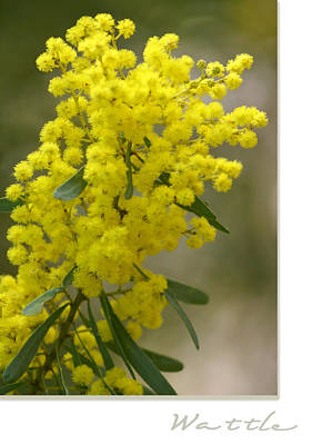 Wattle Poster by Holly Kempe