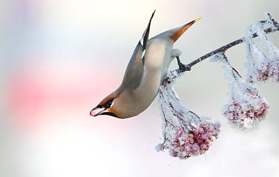 Waxwing Feeding  Poster