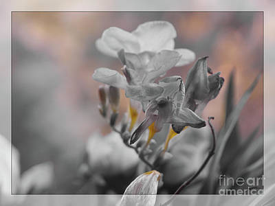 Poster featuring the photograph We Fade To Grey Freesia's by Lance Sheridan-Peel