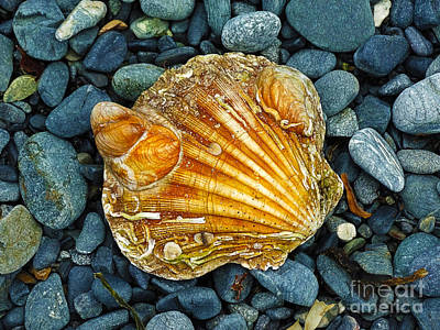 Weathered Scallop Shell Poster