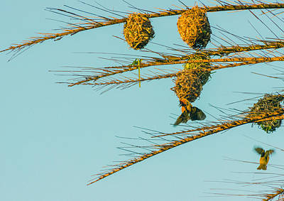 Weaver Birds Poster by Patrick Kain