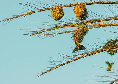 Weaver Birds Poster