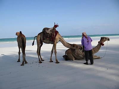 Wedding Camels In The Waiting ... Poster
