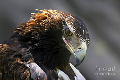 Wedge Tail Eagle Poster