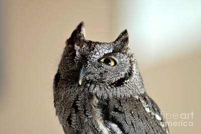 Wee Western Screech Owl Poster