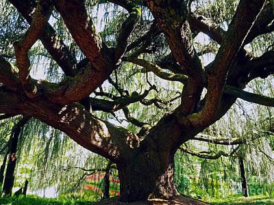 Weeping Cedar Canopy Poster by Alex Cassels