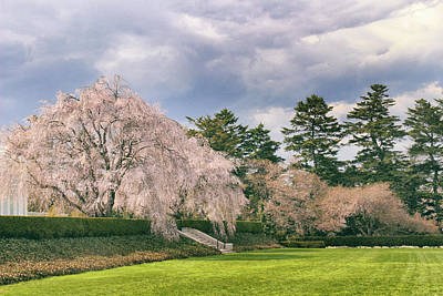 Poster featuring the photograph Weeping Cherry In Bloom by Jessica Jenney