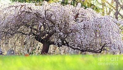 Poster featuring the photograph Weeping Japanese Cherry Tree by Charline Xia