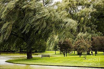 Weeping Willow Trees On Windy Day Poster