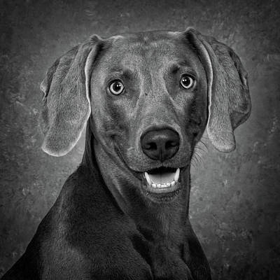 Poster featuring the photograph Weimaraner In Black And White by Greg Mimbs