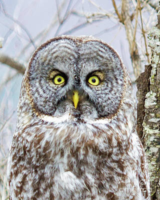 Well Hello - Great Gray Owl Poster