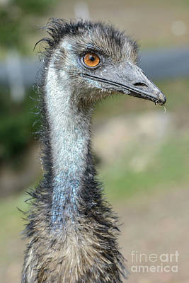 Emu 2 Poster by Werner Padarin