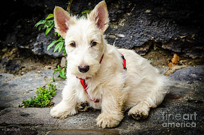 West Highland White Terrier #1 Poster