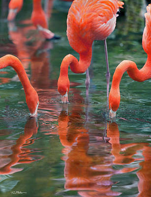 West Indian Flamingo Poster by Tim Fitzharris