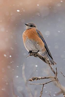 Western Bluebird In Winter Poster by Jennifer Nelson