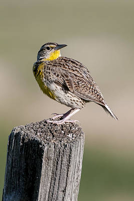 Poster featuring the photograph Western Meadowlark by Gary Lengyel