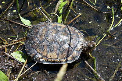 Western Pond Turtle, Actinemys Marmorata Poster